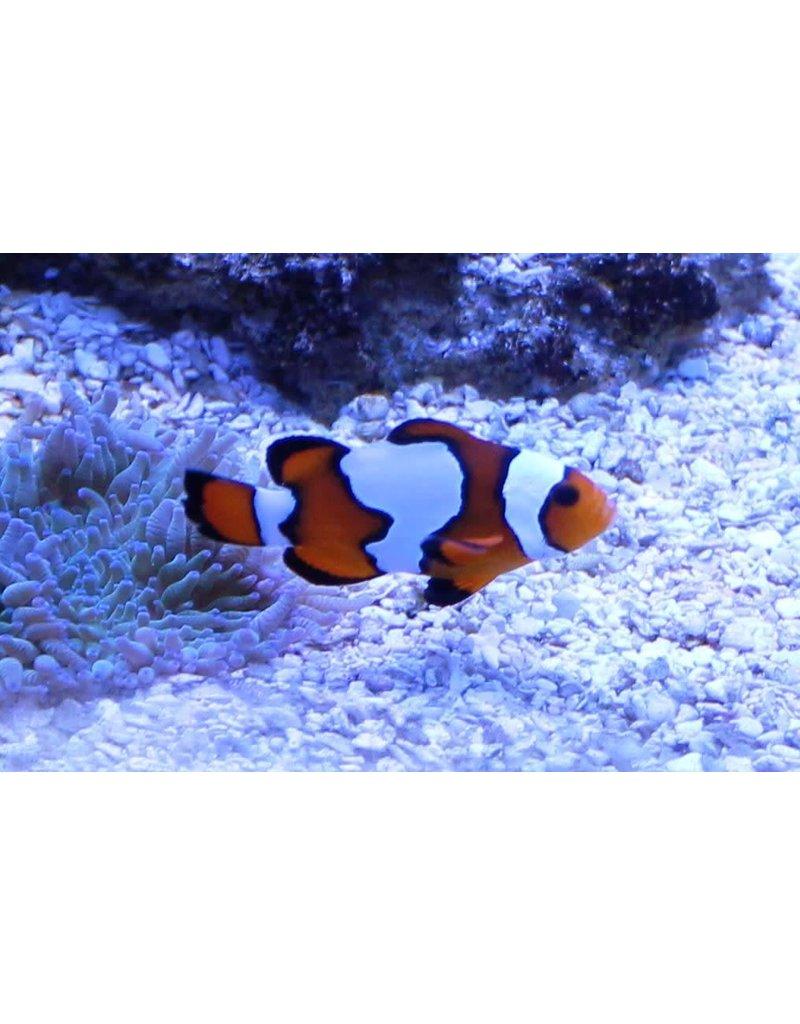 Snowflake Clownfish Premium M