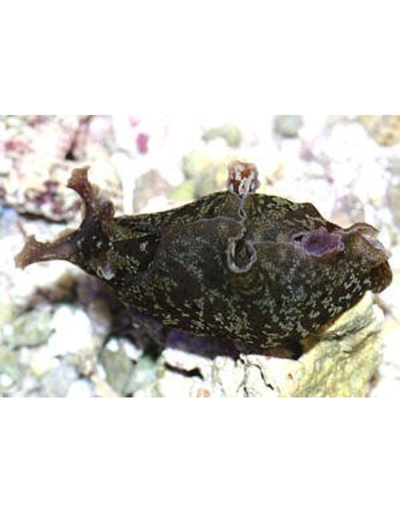 Brown Sea Hare