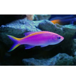 Purple Anthias SM