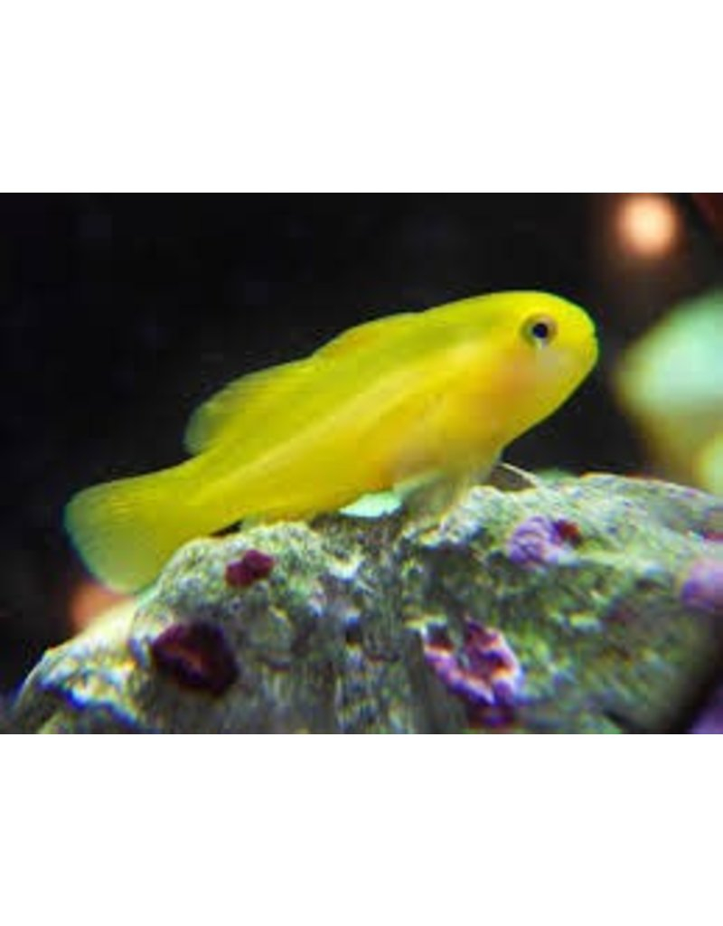 Clown Goby Yellow