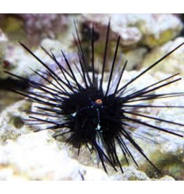 Urchin Black long spine