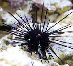 Urchin Black long spine