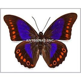 Nymphalidae Prepona xenagoras M A1 Bolivia