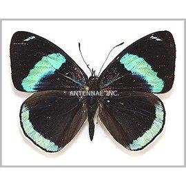 Nymphalidae Diethria clymena M A1- Bolivia