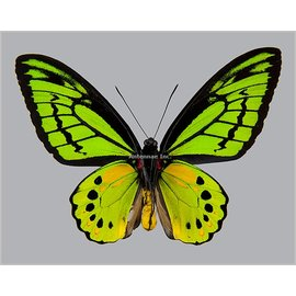 Ornithoptera and Trogonoptera Ornithoptera akakeae akakeae M A1- Indonesia SPREAD SPECIMEN