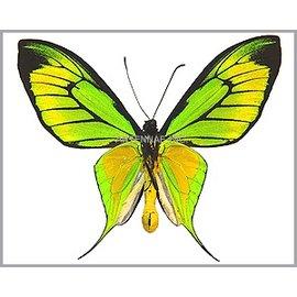 Ornithoptera and Trogonoptera Ornithoptera paradisea ssp? PAIR A1 Indonesia