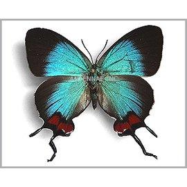 Lycaenidae Thecla coronata PAIR A1 Ecuador
