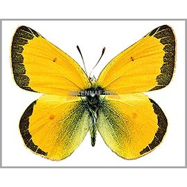 Pieridae Colias meadii elis PAIR A1- Canada