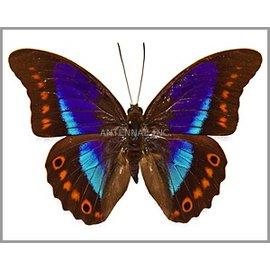 Nymphalidae Prepona garleppiana M A1 Bolivia