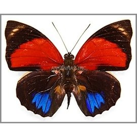 Nymphalidae Agrias amydon aristoxenes M A1 Peru