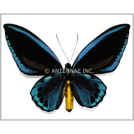 Ornithoptera and Trogonoptera Ornithoptera priamus urvillianus M A1 Solomon Islands
