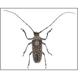 Cerambycidae Rosenbergia straussi M A1 Papua New Guinea 5.00-6.00 cm