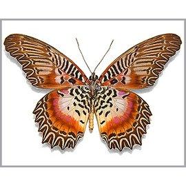 Nymphalidae Cethosia myrina sarnada M A1 Indonesia