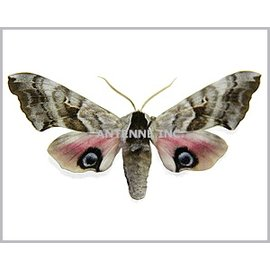 Sphingidae Smerinthus cerisyi M A1 Canada