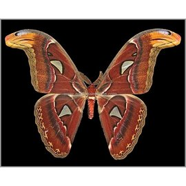 Saturnidae Attacus lorquini M A1 Phillipines