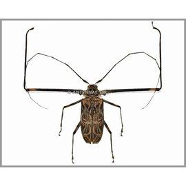 Cerambycidae Acrocinus longimanus PAIR A1 Peru