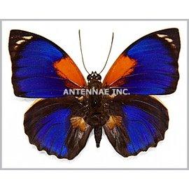 Nymphalidae Agrias phalcidon fournierae f. fournierae M A1 Brazil
