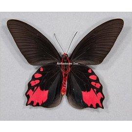 Papilionidae Atrophaneura semperi albofasciata M A1 Phillipines