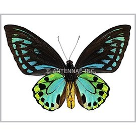 Ornithoptera and Trogonoptera Ornithoptera priamus urvillianus PAIR A1 Solomon Islands