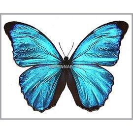 Morphidae Morpho amanthonte M A1 Peru