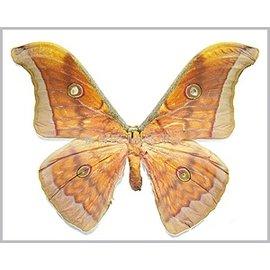 Saturnidae Antheraea frithi pedonculata M A1 Thailand