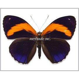 Nymphalidae Callicore excelsior M A1 Peru