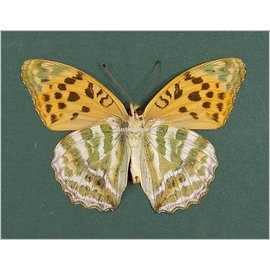 Nymphalidae Argynnis paphia ssp? M A1 South Korea
