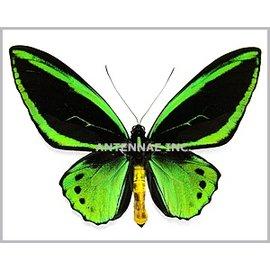 Ornithoptera and Trogonoptera Ornithoptera priamus aruana PAIR A1 Indonesia