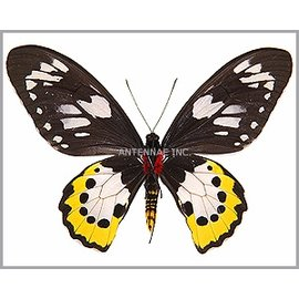 Ornithoptera and Trogonoptera Ornithoptera paradisea arfakensis PAIR A1 Indonesia