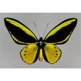 Ornithoptera and Trogonoptera Ornithoptera croesus lydius x Ornithoptera priamus poseidon HYBRID PAIR A1 Indonesia