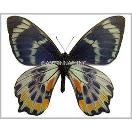Papilionidae Papilio toboroi PAIR A1- Solomon Islands