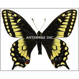 Papilionidae Papilio machaon dodi f. nitra M A1 Canada