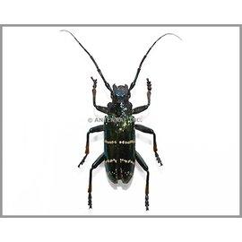 Cerambycidae Sphingnotus mirabilis mirabilis M A1 Solomon Islands