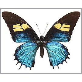 Papilionidae Papilio androgeus F M A1 Peru