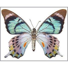 Papilionidae Papilio laglaizei M A1 PNG