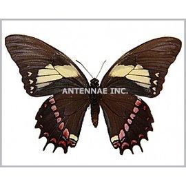 Papilionidae Papilio aristeus bitias M A1 Peru