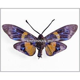 Zygaenidae Eterusia risa javanica M A1 Indonesia