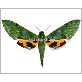 Sphingidae Euchloron (Hippotion) megeara M A1 Cameroon