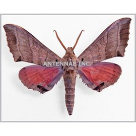 Sphingidae Rufoclanis rosea M A1 Cameroon