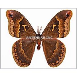 Saturnidae Callosamia securifera PAIR A1 USA