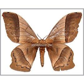 Saturnidae Arsenura mossi M A1 Bolivia