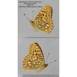 Nymphalidae Speyeria mormonia eurynome M A1- Canada