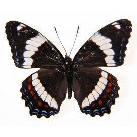 Nymphalidae Limenitis arthemis rubrofasciata F A1 Canada