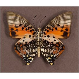 Nymphalidae Charaxes zingha M A1- RCA