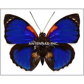 Nymphalidae Agrias phalcidon fournieri f. viola M A1 Brazil