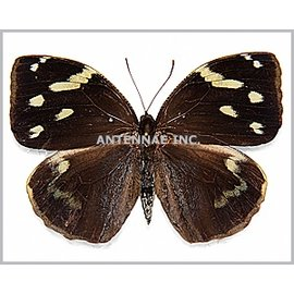 Brassolidae Dynastor darius stygianus M A1 Peru