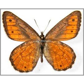 Satyridae Oeneis chryxus chryxus M A1 Canada