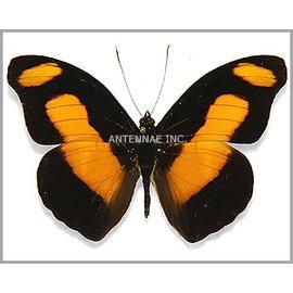 Nymphalidae Catonephele selambria M A1 Bolivia