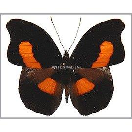 Nymphalidae Catonephele acontius acontius M A1 Peru
