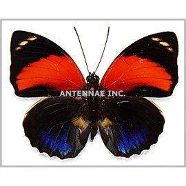 Nymphalidae Agrias pericles peruviana M A1 Peru